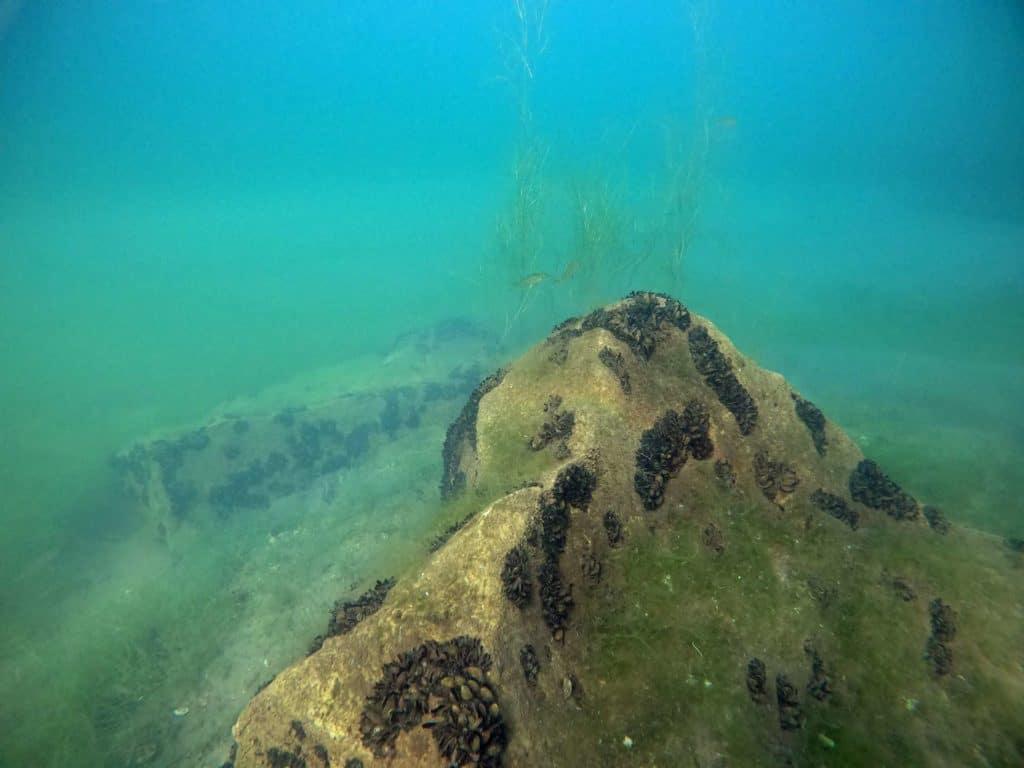 Süßwassermuscheln Kulkwitzer See